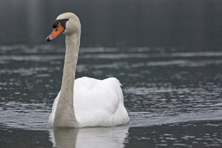A white swan paddles through his element water to the observer Stock Photo