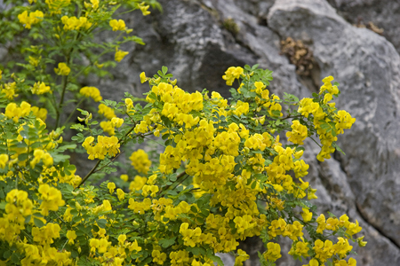 Broom shrubs in Croatia - the yellow-flowering shrub in spring is an eye-catcher in many landscapes of the Mediterranean countries