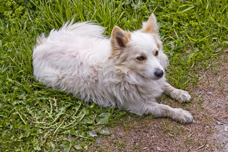 Lying white spitz dog in front of the green of a mountain meadow Stok Fotoğraf