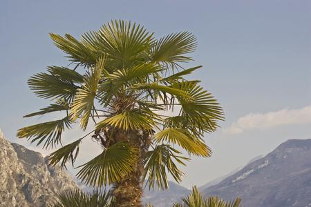 Single palm on the beach promenade in Limone sul Garda on Lake Garda