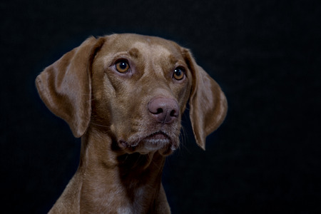Portrait of a Magyar Vizsla also called Shorthaired Hungarian Pointer in studio in front of black background Stock Photo