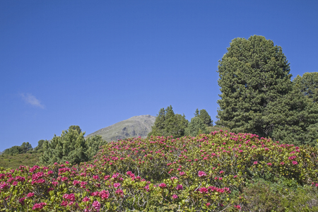 In the months of June and July, the mountain slopes of the Stubai Alps are covered by a red sea of flowers of alpine rose Standard-Bild - 95591782