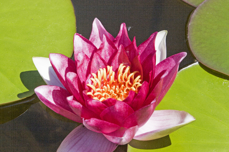 The queen of the pond - beautiful flowers of water lilies on lonely forest pond