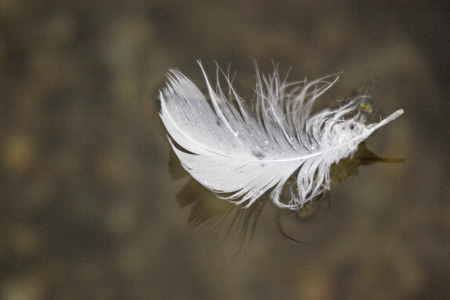 A white bird feather floats on the surface of the small moor lake Stock Photo