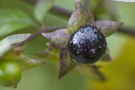 The belladonna also called atropa belladonna belong to the family Solanaceae