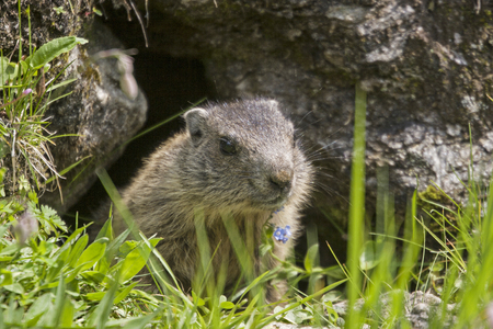 The alpine marmot alert and curious pulls it out of its hole