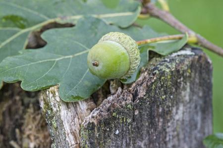 Green still immature acorn in summer