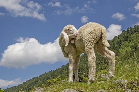 Little lamb spends his first summer on an alpine pasture in the Stubai Alps in Tyrol Stock Photo