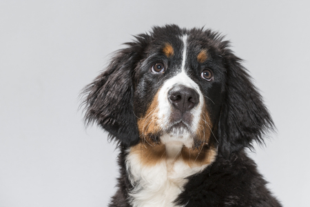 Portrait of a young Bernese Mountain Dog in studio in front of black background Reklamní fotografie