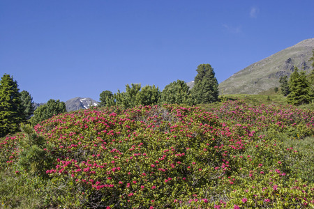 In the months of June and July, the mountain slopes of the Stubai Alps are covered by a red sea of flowers of alpine rose Standard-Bild - 96720440