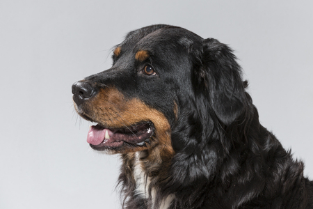 Portrait of a Appenzeller dog in studio against a black background
