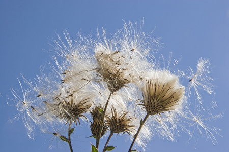 Faded thistle in front of blue cloudless sky Stock Photo