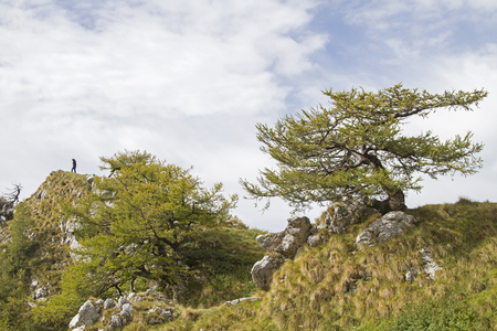 On the hike to the Malga di Ronche in the Monte Bondone area, the hiker comes along this bizarrely grown larch standing on a wild mountain crest Standard-Bild - 97711827