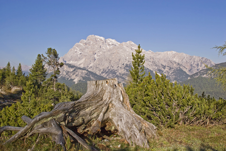 Old gnarled rhizome not far from the 3 peaks  in front of a mighty dolomitic peak