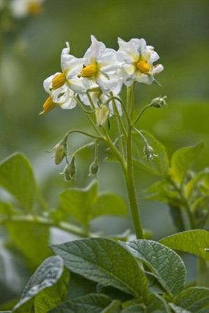 White flowers on green potato fields in early summer