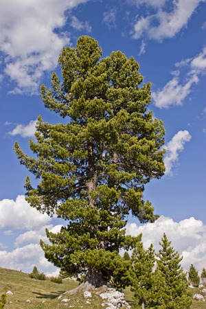 The Arve, also called Swiss stone pine, is at home in the highlands of the Alps Stock fotó - 98525119
