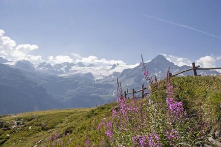 Epilobium angustifolium  on an alpine meadow in the glacier-rich mountains of the Savoy Alps Standard-Bild - 98525659