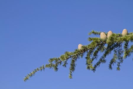 Baumdetail - Ast mit Zedernzapfen vor blauem Himmel
