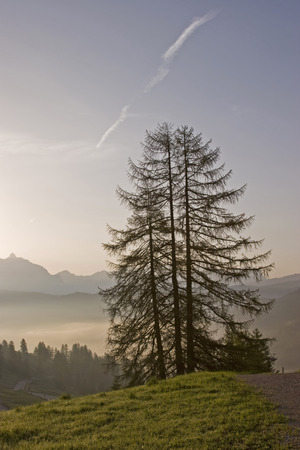 Larch tree in the early morning in South Tyrolean countryside Standard-Bild - 98527609