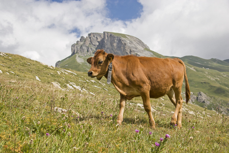A cow spends the summer on the mountain meadows in Savoy Standard-Bild - 98339619