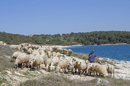 sheeps in Istria will find grasses and food on the karst peninsula of Kamenjak