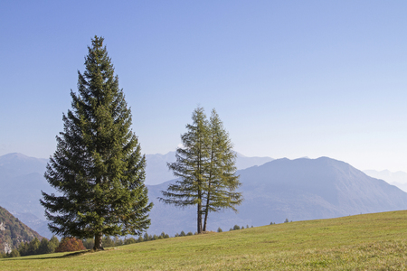 Larch and spruce next to each other on a mountain meadow in Trentino