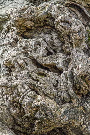 Old gnarled olive tree trunks are a fascinating work of art of nature Stock Photo