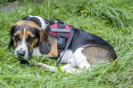 A Tricolore Beagle has made himself comfortable on a green meadow