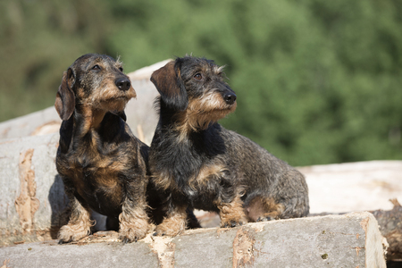 Two dachshunds stand on a woodpile in the forest