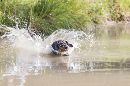 Enthusiastic rough-haired Dachshund exercises  water work