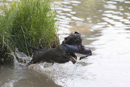 Enthusiastic rough-haired Dachshund doing water work with dummy