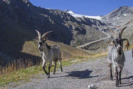 Goat herd spends the summer on the high alpine meadows of the Oetz valley 免版税图像