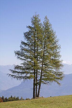 Prachtvolle Lärche steht isoliert auf einer Bergwiese Standard-Bild