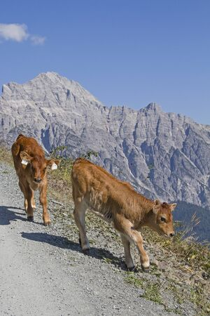 Cows spend the Summer in the hills on the high mountain meadows in Pinzgau Stock Photo