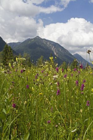 Magnificent blooming summer meadow with rare flowers and plants can be found in Ettal Weidmoos at Graswang in Bavaria Standard-Bild