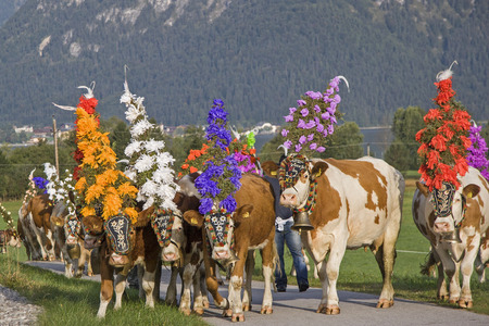 In September, the cows are driven off the high alpine pastures on Lake Achen, wearing a magnificent headdress