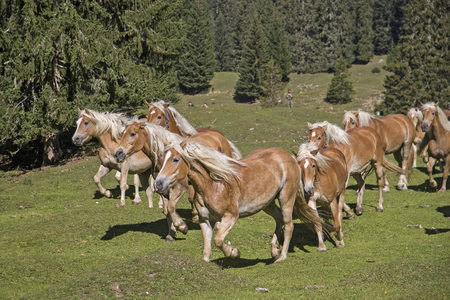 Haflinger horses  spends the summer on a high mountain meadow in Tyrol