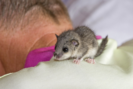 Orphan dormouse child is nursed and cared for in a human environment 写真素材