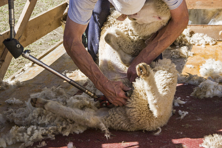 After being taken down from the high mountain pastures, the animals are collected and shorn by the sheep farmers and stripped of their wool Stok Fotoğraf