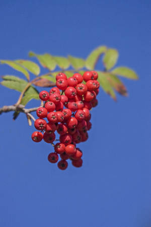 Fruits of rowan grow in summer on rowan tree Stockfoto
