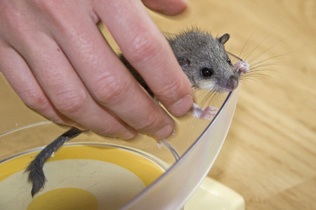 Orphaned dormouse child is checked for weight gain with the aid of a kitchen scale