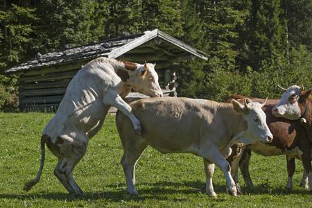 Cheeky cows on an alpine meadow in Tyrol
