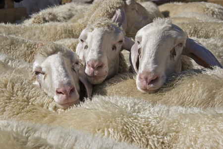 Crowded, the sheep wait in their pen for the shearing of their wool Stock Photo