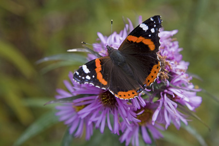 Admiral butterfly rests on a purple autumn flower Stock Photo