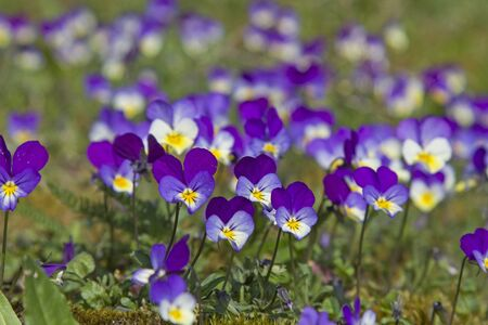 The Wild pansies that grows best on meadows and roadsides is often called field violets Archivio Fotografico - 127363208