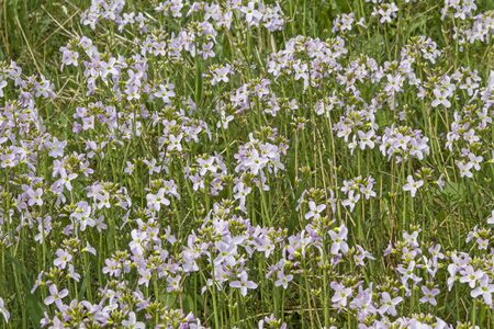Countless meadow foam herbs transform this wet meadow into a sea of flowers