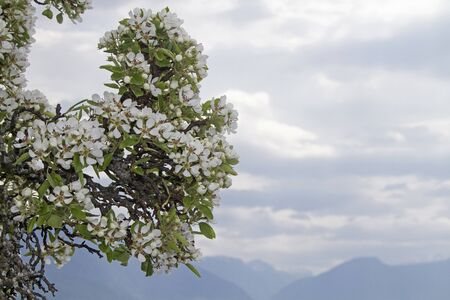 Countless tourists enjoy the natural spectacle of the fruit tree blossom on the Sognefjord in Norway