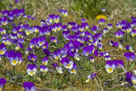 The Wild pansies that grows best on meadows and roadsides is often called field violets Archivio Fotografico - 127363446