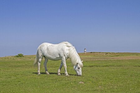 White horse grazes on a meadow near the Norwegian North Sea coast in the nature reserve Morups Tange