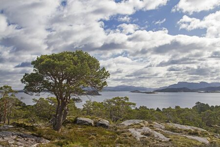 Magnificent pine tree in a forest on the island of Ertvagoy on the Norwegian Atlantic coast